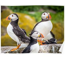 Puffin Sentries Poster
