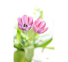 Pink Tulips Drenched In Light Photographic Print