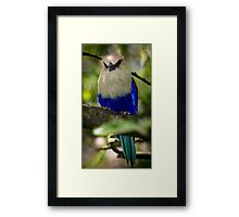 Blue-bellied Roller Framed Print