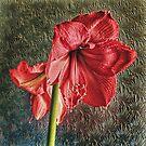 Amaryllis  by Avril Harris