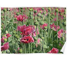 Pink Poppies Field Poster