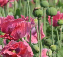 Pink Poppies Field Sticker