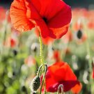 Another Poppy by JEZ22