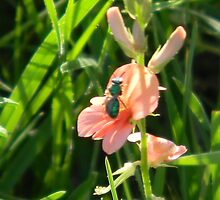 Tiny Green Bee on Scarlet Pea by Navigator