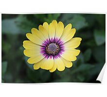 Yellow and purple daisy Poster