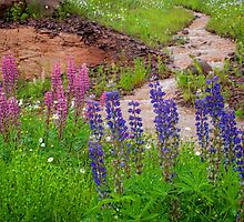 Minnesota Wild Lupine by by M LaCroix