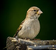 Sparrow by RandyHume