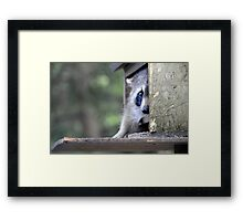 Raccoon in bird feeder (again) tsk! tsk! Framed Print