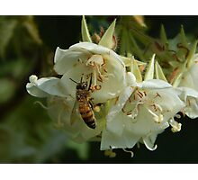 quest for the light - white flowers & the bee Photographic Print