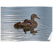 Mallard Duck and Ducklings Swimming Poster