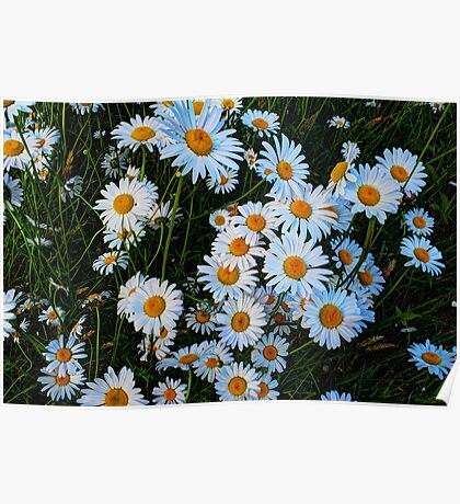 Daisies Along the Driveway Poster