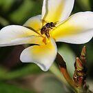 Visiting The Plumeria Blossom by heatherfriedman