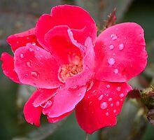 Raindrop Rose by LorriCrossno