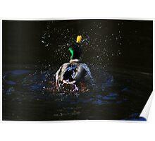 Male mallard washing on Llangollen Canal Poster
