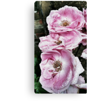 Shabby Rose Pink  Canvas Print