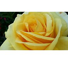 Sunshine in a Rose Photographic Print