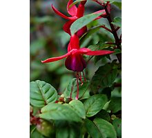 fuchsia bells  Photographic Print