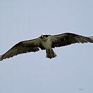 Osprey by Dennis Cheeseman