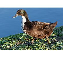 Black Domestic Duck Photographic Print