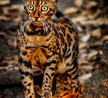 The Bengal Cat by Chris Lord