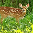 White-tailed Fawn by lorilee