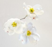 Abstract Dogwood by Floyd Hopper