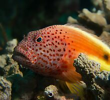 Freckled Hawk Fish by James Deverich