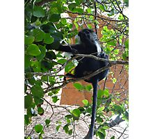 Colobus Monkey eating leaves in a tree - full body Photographic Print