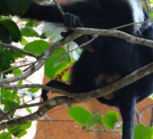Colobus Monkey eating leaves in a tree - full body Sticker