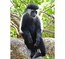 Colobus Monkey sitting in a tree 2 Photographic Print