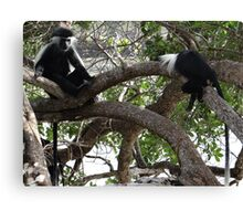 Colobus Monkeys sitting in a tree Canvas Print
