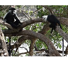 Colobus Monkeys sitting in a tree Photographic Print
