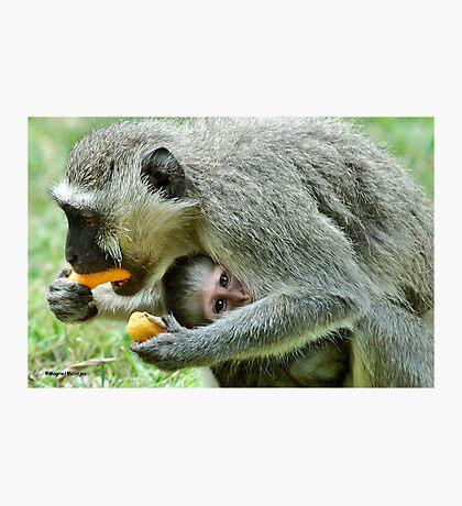 GROWN-UPS ALWAYS GETS THE BEST - Vervet Monkey, (CERCOPITHECUS PYGERYTHRUS) BLOU AAP Photographic Print