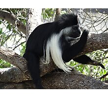 Colobus Monkey resting in a tree Photographic Print