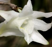 White Dove Orchid by SMCK