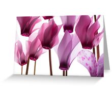 backlit violet petals (Cyclamen) on a lightbox Greeting Card