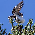 The Osprey Dance by byronbackyard