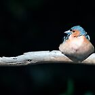 Chaffinch in the sunlight by Sara Sadler