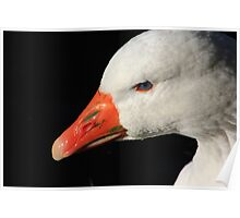 Domestic goose on Llangollen canal Poster