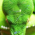 Morelia viridis - Green Tree Python by wildimagenation