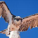 Osprey, Shark Bay by wildimagenation