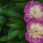 A pair of paeonies by Sue Purveur