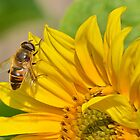 Hoverfly on Sunflower by relayer51