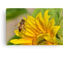 Hoverfly on Sunflower Canvas Print