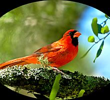 Cardinal in a Tree with Moss by imagetj