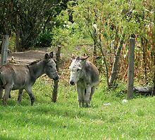 Pair of Donkeys in a Meadow by rhamm