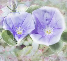 Convolvulus sabatius 'Moroccan Beauty' (Convolvulus, Bindweed) by Elaine Teague