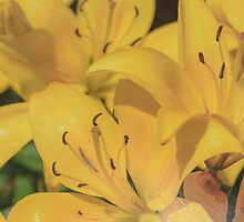 Yellow Lilies by designingjudy