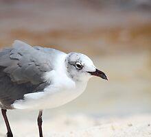 Seagull by Bob Hardy