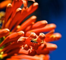 Hover fly  by Margaret Stanton